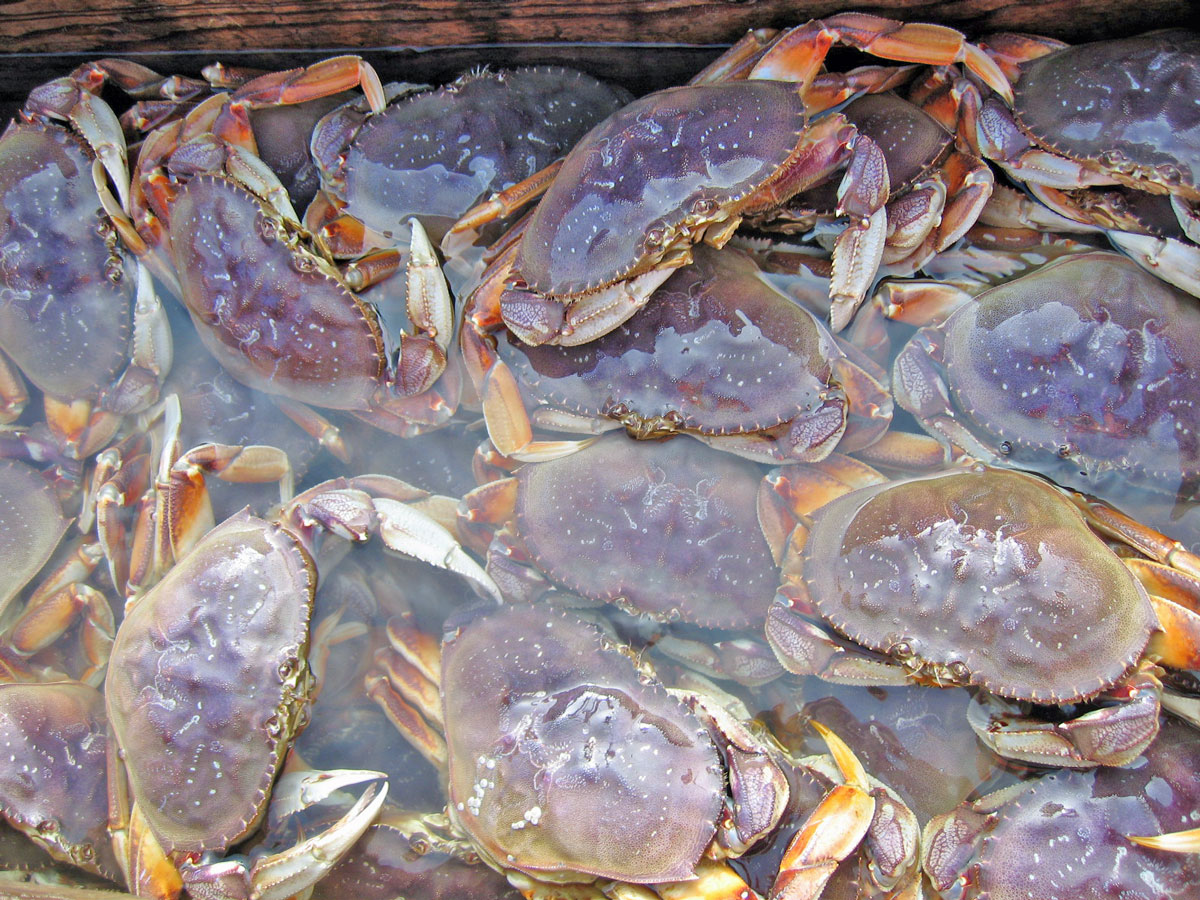 Odfw life of a dungeness crab for Washington state fishing license cost