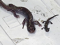 Siskiyou_Mountains Salamander