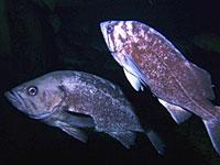 Black and Blue Rockfish