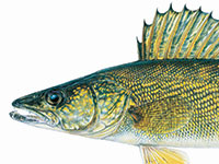 Walleye male