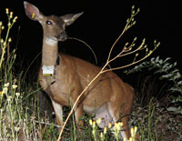 radio-collared black-tailed deer