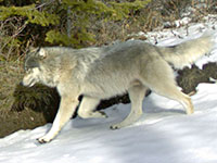 Snake River wolf