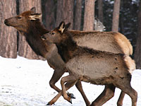Rocky Mountain Cow Elk and Calf