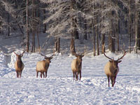 Rocky Mountain Elk Calves