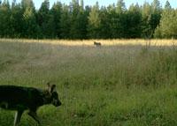 Umatilla River wolf pups