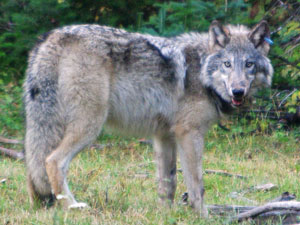 ODFW Frequently Asked Questions About Wolves