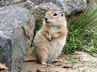 Washington ground squirrel