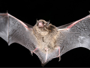 Long-eared Myotis Bat
