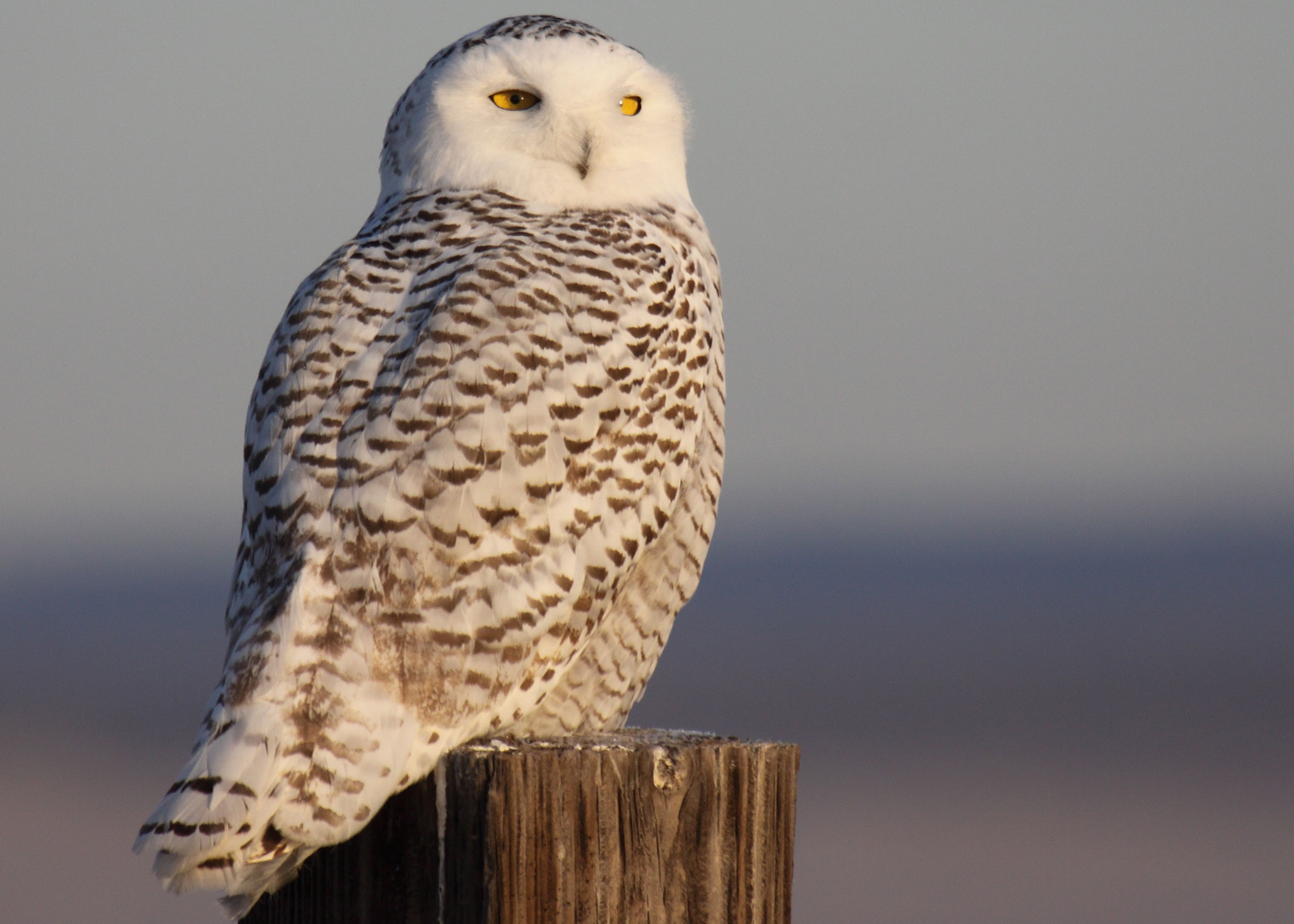 SNOWY OWL photographed near Burns, Oregon in December. SNOWY OWLs ...