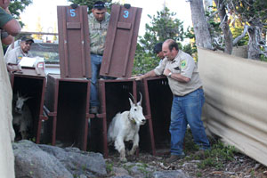 Mt. Goat release