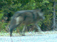 Wolf in Oregon Cascades