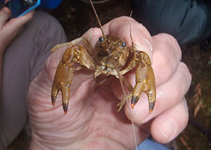 Ringed crayfish