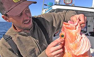 Yelloweye Rockfish with signs of barotrauma