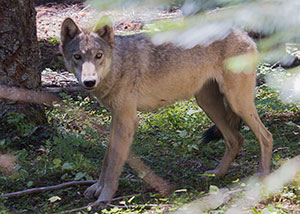 Yearling wolf