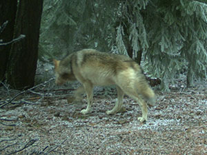 Northern Cascades Wolves