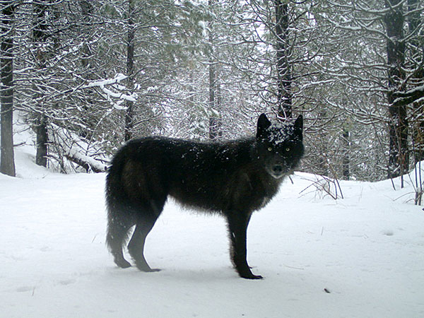 A wolf of the Wenaha Pack captured on a remote camera on U.S. Forest Service land in northern Wallowa County. Photo by ODFW.