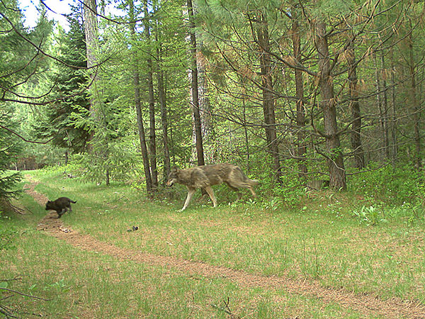 Two members (one subadult and one pup) of the Catherine Pack on private property in eastern Union County. Photo by ODFW.