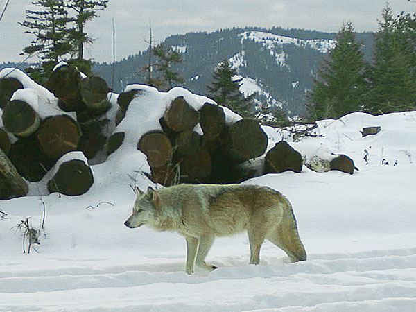 The breeding female of the Walla Walla Pack captured on a remote camera on private property in northern Umatilla County. Photo by ODFW.
