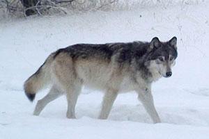 Chesnimnus Wolf