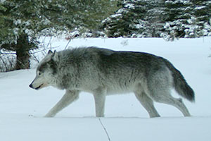 Walla Walla Wolf