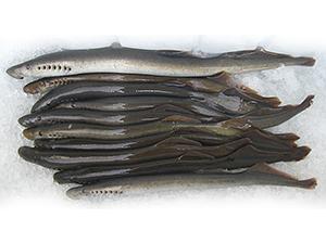 Adult Pacific lamprey