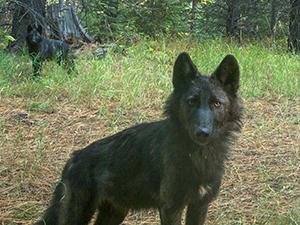 Wenaha juvenile wolves