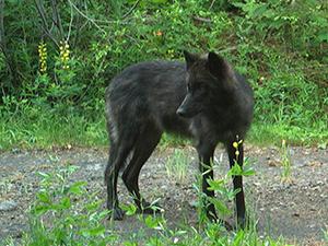 Ruckel Ridge yearling wolf