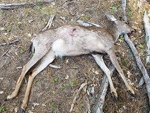 poached buck deer
