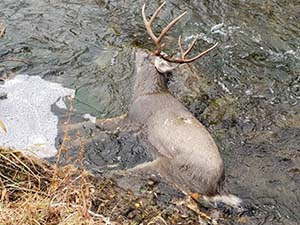Poached mule deer